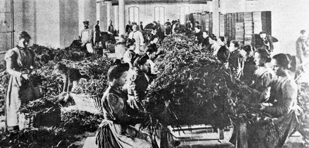 1900 - Grasse (Francia) - Lavorazione delle mimose in una fabbrica di profumi