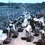1920-30 - Rio Grande do Sul (Brasile) - Raccolta dell'uva